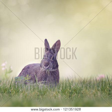 Marsh Rabbit Eating Green Grass