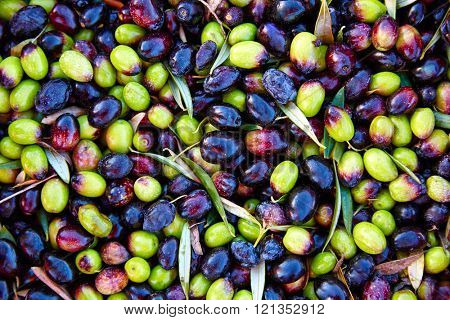 Olives texture in harvest at Mediterranean Spain
