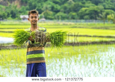 LOMBOK INDONESIA - FEBRUARY 21 2016 : Unidentified Asia boy hold sheaf of paddy on hand at Lombok Indonesia