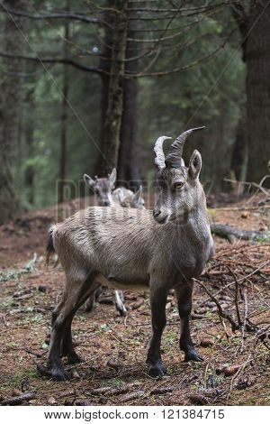 Young Alpine Ibex In A Wood