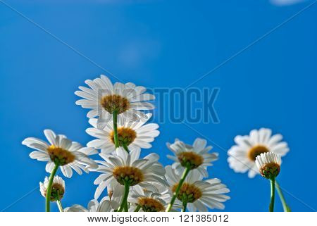 Group of camomiles flowes over blue sky