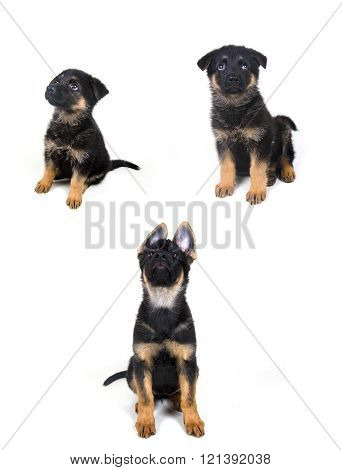 German Shepherd Puppy (Growing)