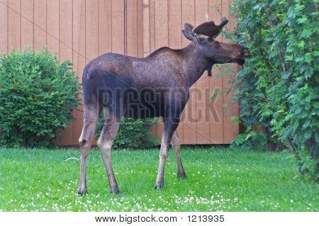 Back-Yard Moose. 100_5325