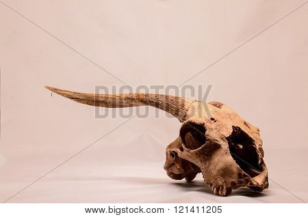 Dry Goat Skull with Big