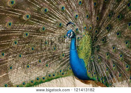 Green Beautiful Peacock.