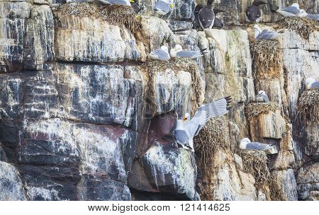 Atlantic Tern At The Farne Islands In Northumberland