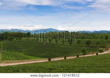 Green tea plantation agricultural nature landscape