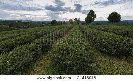 Tea Plantations, agriculture mountain lanscape