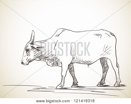 Sketch of zebu bull, Hand drawn illustration