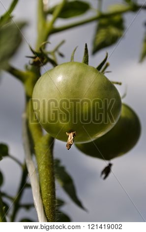 Green Tomatoes Growing On Branches In The Garden