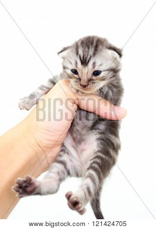 American Shorthair Kitten Is On The Hands Of The Owner. Isolated On White Background