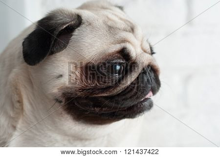 Portrait of a pug
