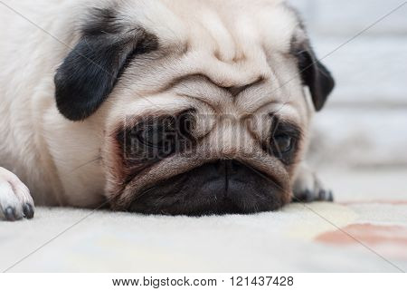 Sad pug lying on the floor. Portrait of a pug