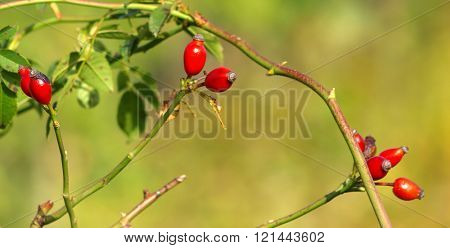 Red rosehips