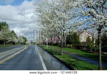 Residential Street In Seattle Suburbs With Blooming Cherry Trees