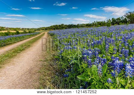 An Old Texas Country Dirt Road in a Field Full of the Famous Texas Bluebonnet (Lupinus texensis) Wildflowers. An Amazing Display at Muleshoe Bend on the Colorado River in Texas. poster