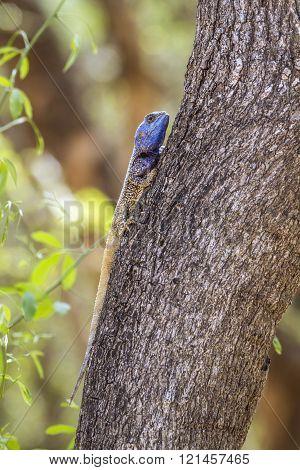 Black-necked Agama In Kruger National Park, South Africa
