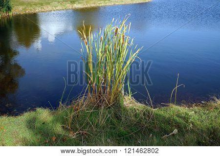 Common Cattails