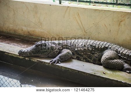Crocodile in water at the Neyyar wildlife sanctuary in Neyyar dam. Neyyar sanctuary in Thiruvananthapuram is well known for its diverse wildlife and scenic lake. poster
