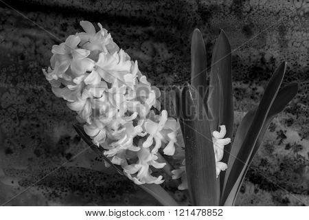 Black & White Hyacinth Flowers On The Bright Background.