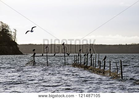 Cormorants And Pound Net