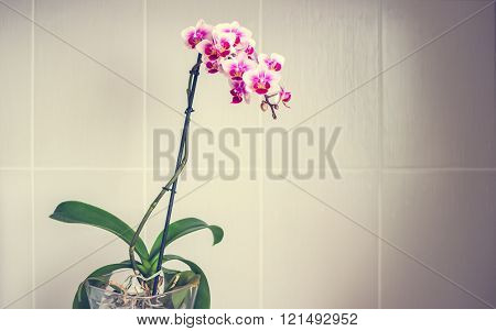 Beautiful Phalaenopsis Multiflora Orchid In A Pot On Grey Tiles Background