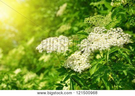 Blooming Elderflower with green leaves in the garden (Sambucus nigra)