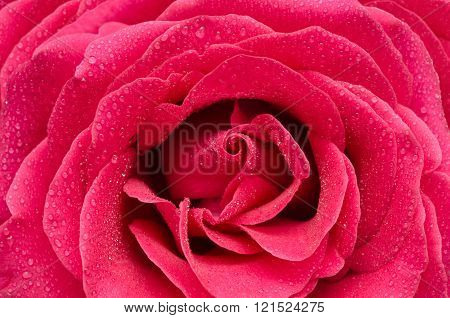 Bright Pink Rose Closeup