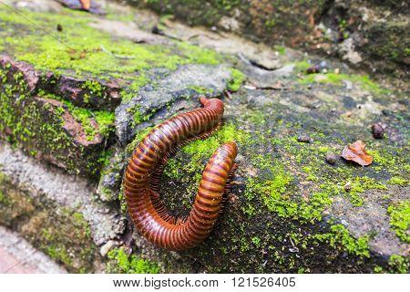 millipede or millepede eating mosses