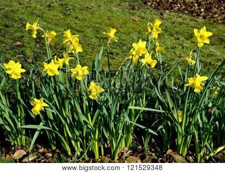Daffodils Latin name Narcissus February Gold