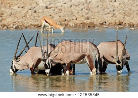 Gemsbok antelopes (Oryx gazella) drinking water, Etosha National Park, Namibia
