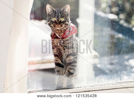 Tabby Standing In Window Looking Inside.