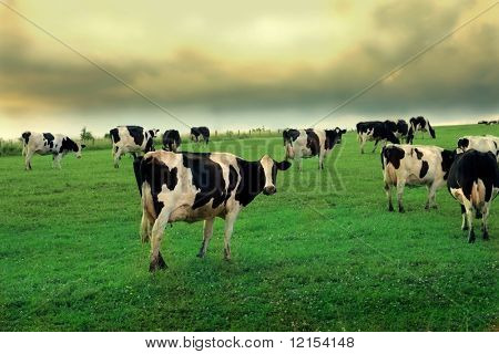 cows in a grass field