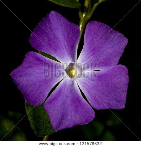 Vinca Flower Macro
