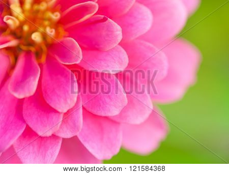 Close up of pink wild flower. Beautiful floral use as background. Outdoors.