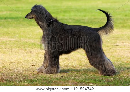 Dog Breed Afghan Hound Stands Sideways
