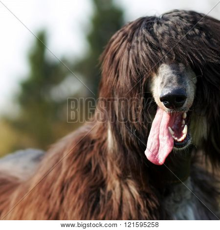 Happy Dog Afghan Hound