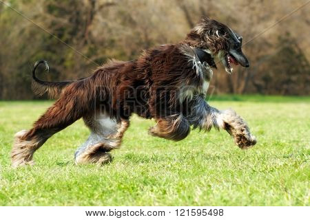 Beautiful Afghan Hound Dog Running
