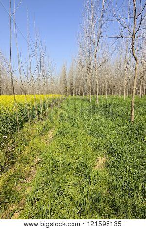Punjab Poplar Trees