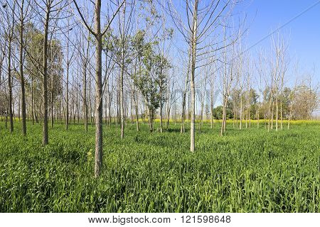 Poplar Trees And Wheat
