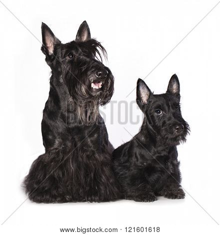 Scotch Terrier bitch and puppy