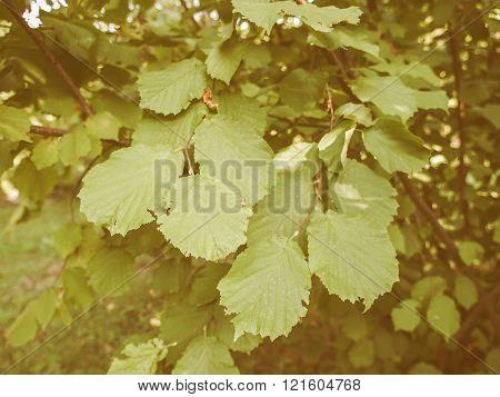 Retro Looking Hazel Tree Leaf
