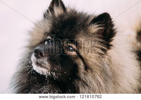 Close up of lovely Young Keeshond, Keeshonden dog in snow, winte