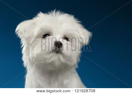 Closeup Portrait Cute White Maltese Puppy Looking Up, Blue Background