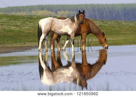 Two Wild Beautiful Horses Drinking Water