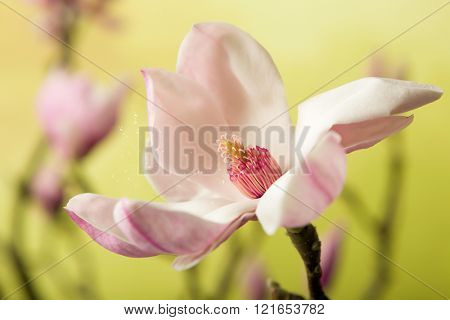 Pollen spreading in the wind leaving a full blossom magnolia flower in springtime