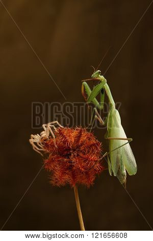 Closeup Green Mantis And Spider-hunter  On A Prickly Dry Plant