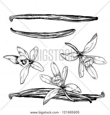 Vanilla stick or pods with vanilla flower on white background. Isolated vanilla stick vector illustration. Cartoon vanilla flower and vanilla pod. Vanilla bean isolated.