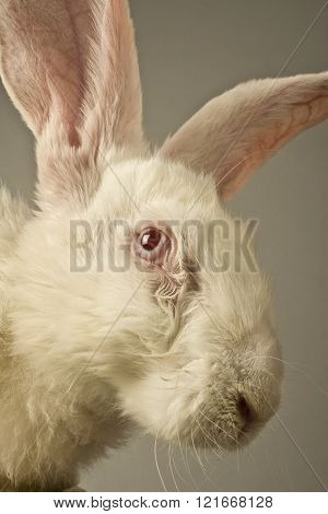 White Rabbit Portrait
