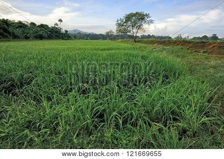 Green paddy field in Balik Pulau, Penang